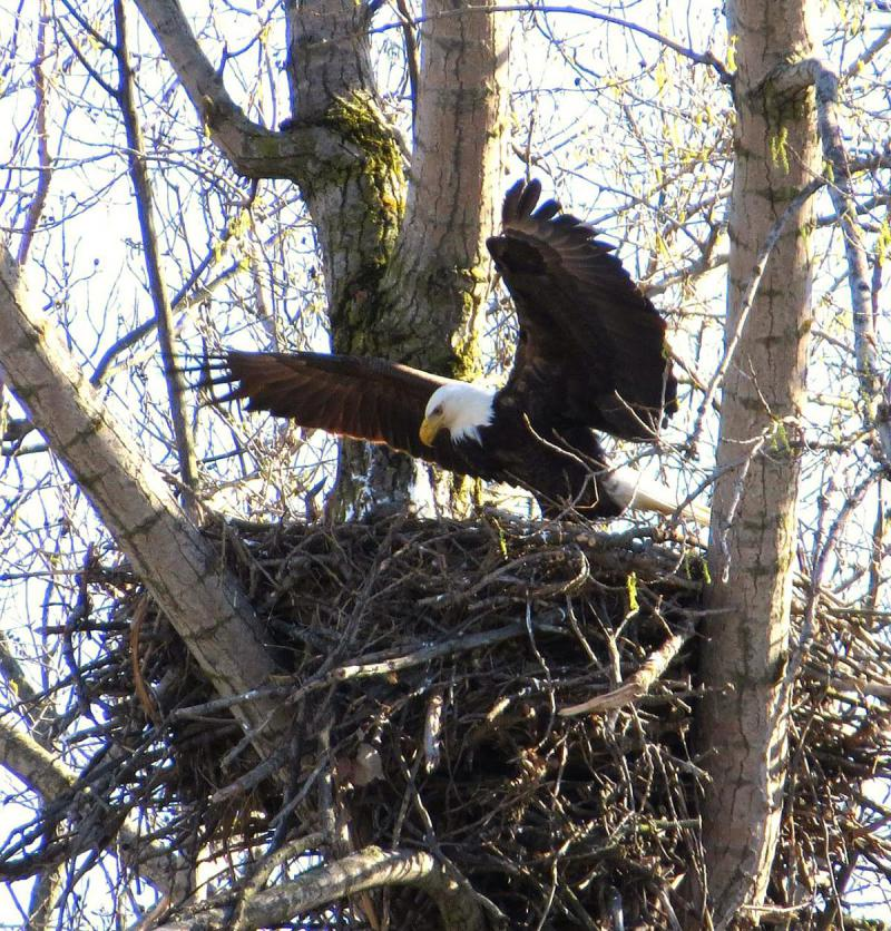 Bald eagles are being poisoned from eating lead shot in carcasses.