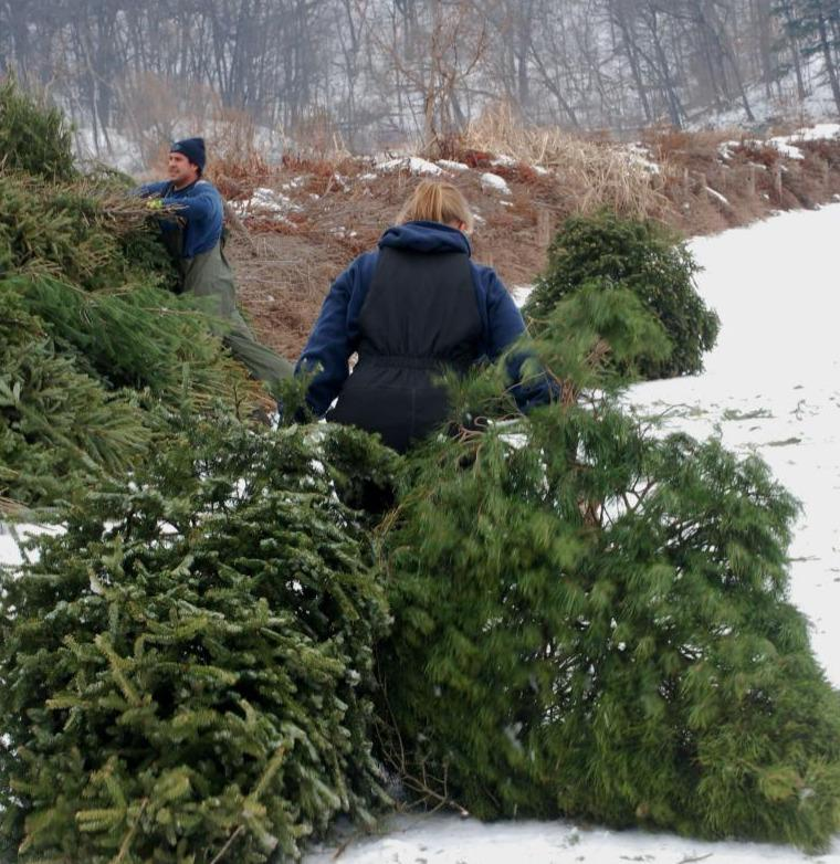 Discarded Christmas trees used as barrier for Asian carp.
